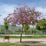 La Bauhinia variegata es un árbol caducifolio
