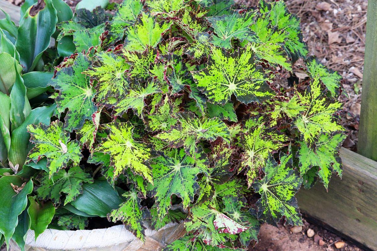 Begonia cleopatra