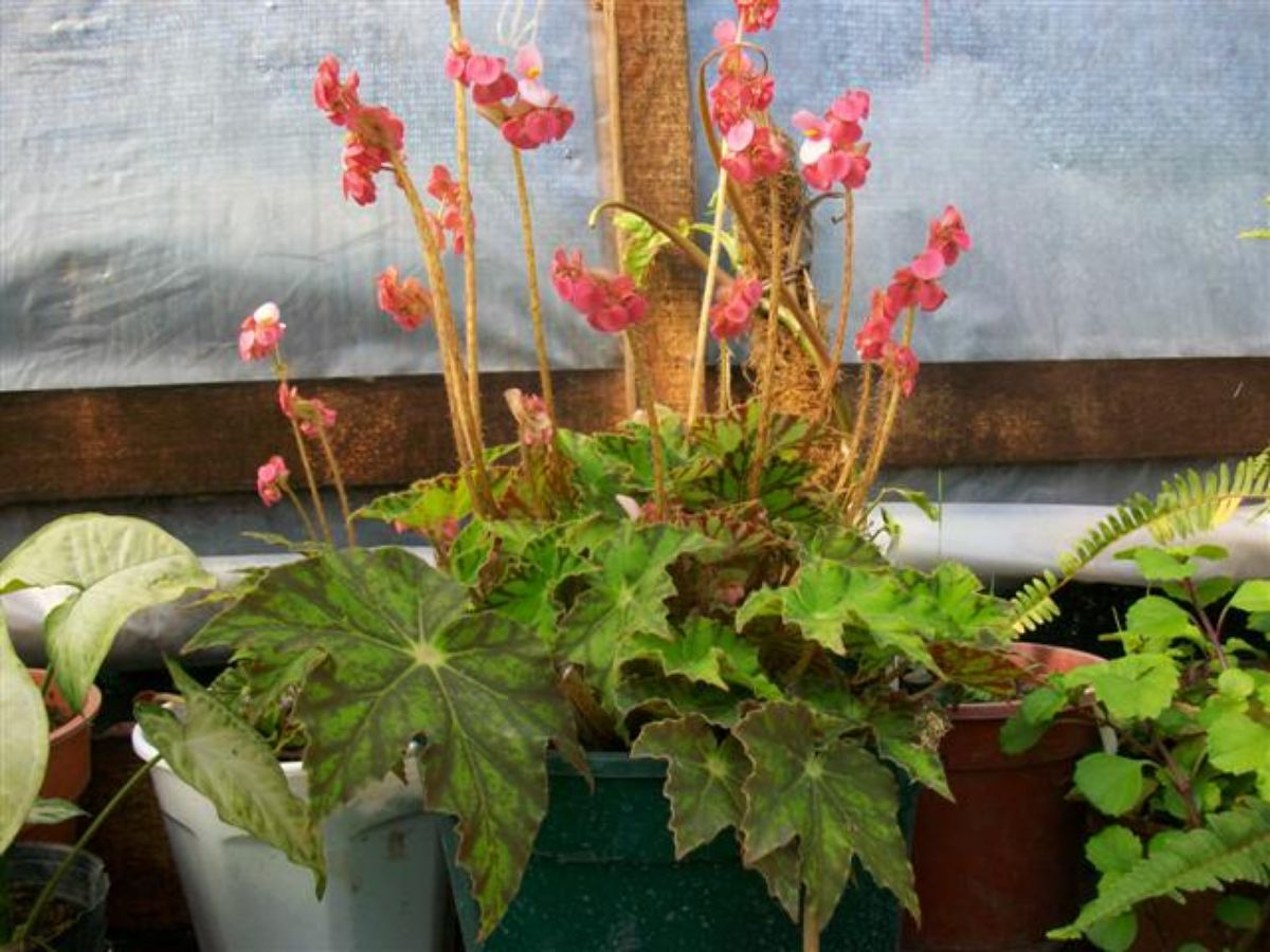 Características de la Begonia cleopatra