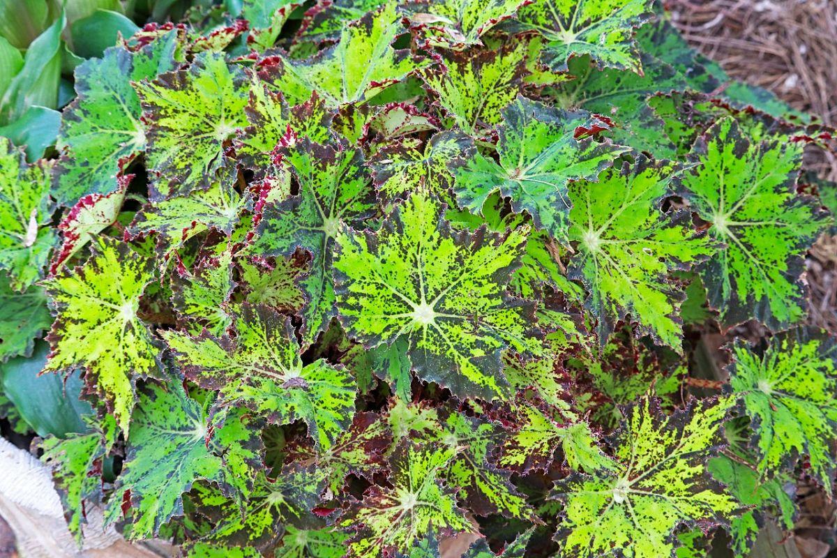 Cuidados de la Begonia cleopatra