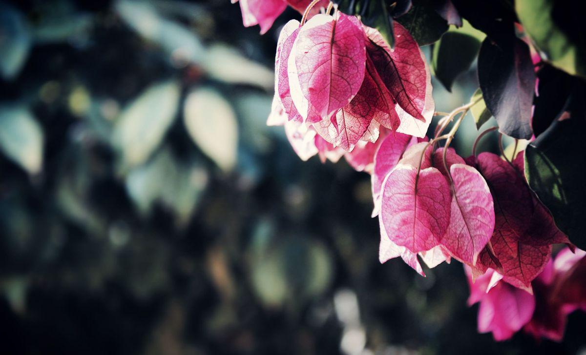 plantas con flores de exterior: Buganvilla