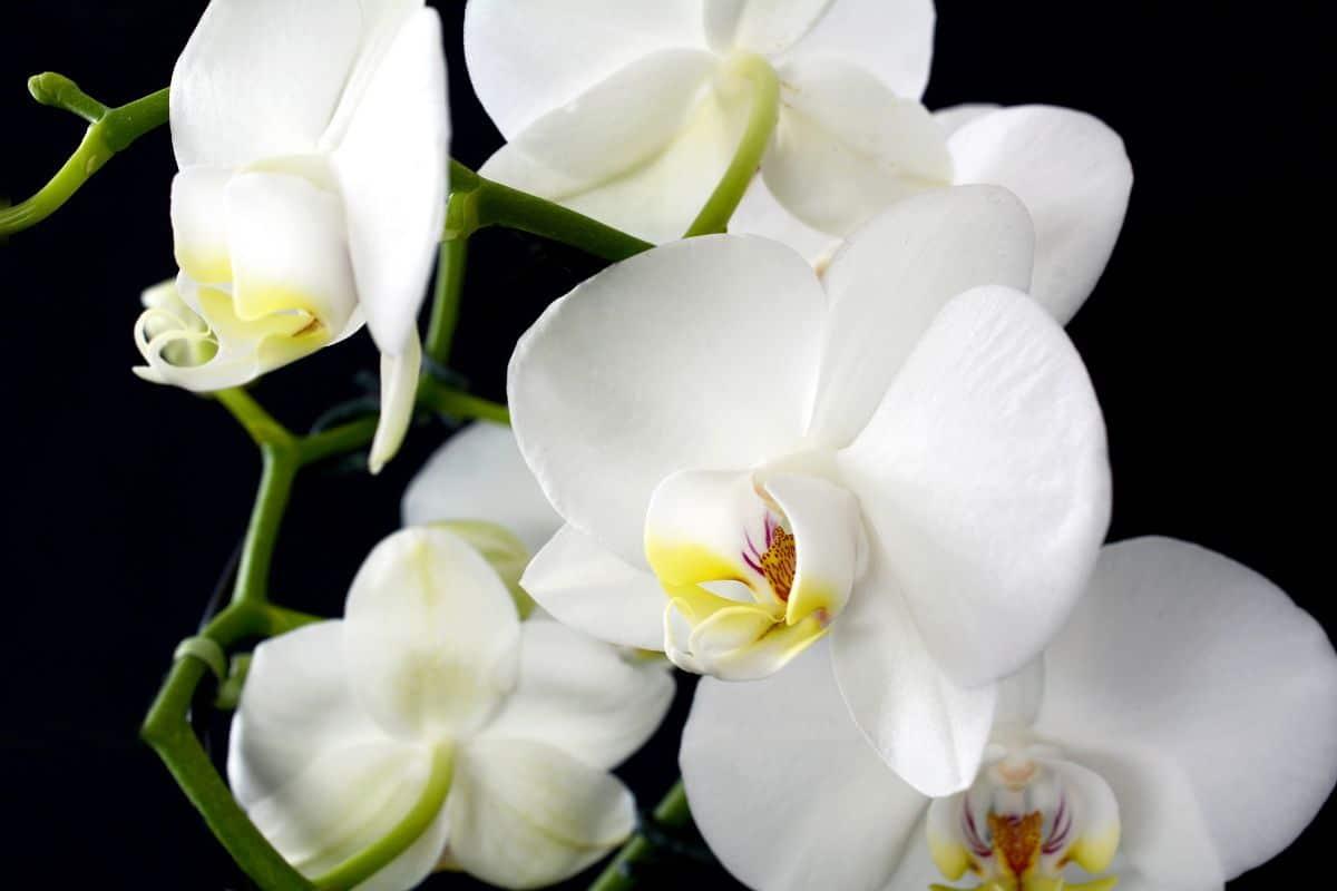 ¿Se puede tener una orquídea en el exterior?