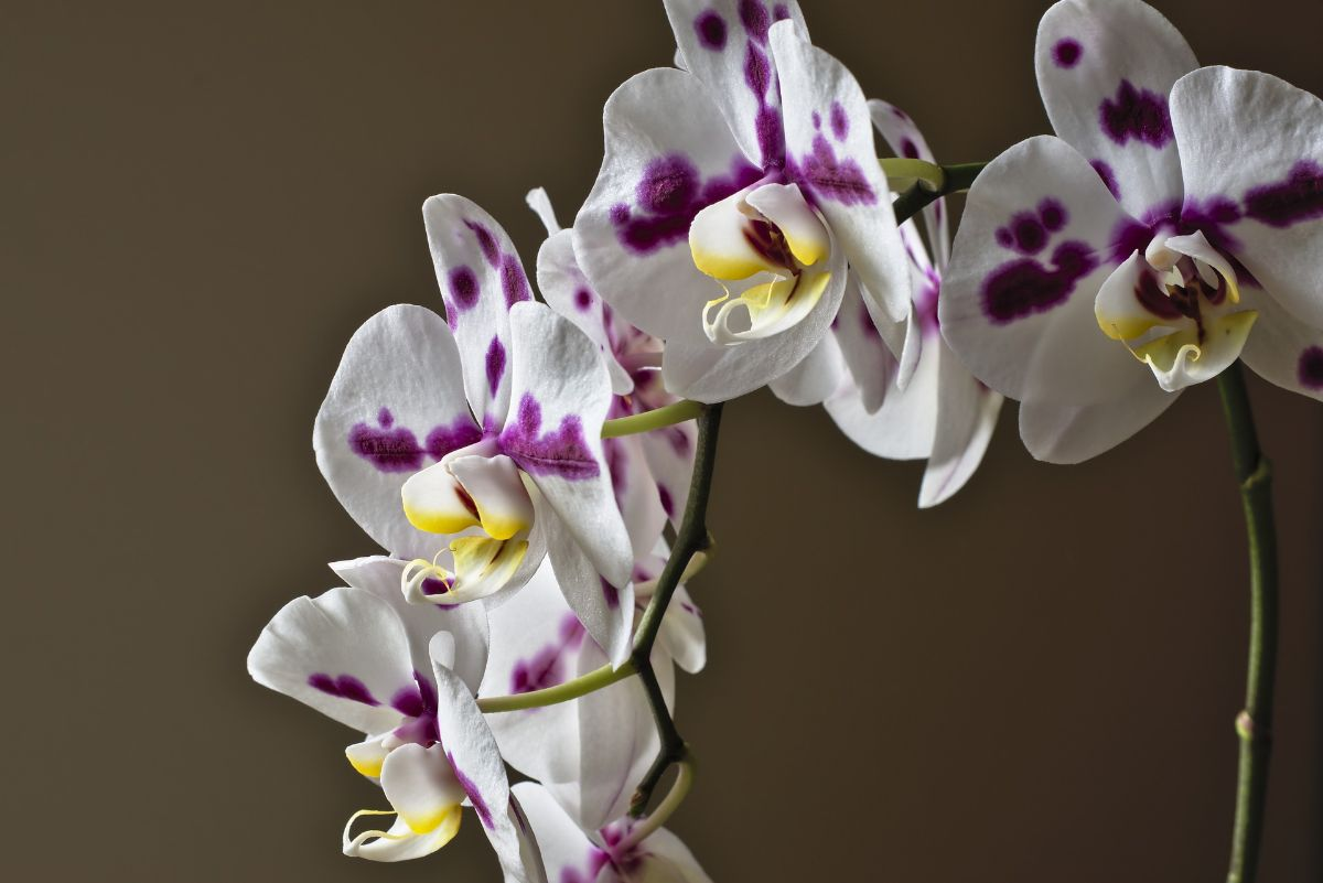 Cómo regar y abonar una orquídea