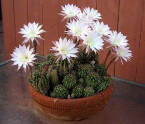 El echinopsis es un cactus que libera oxígeno