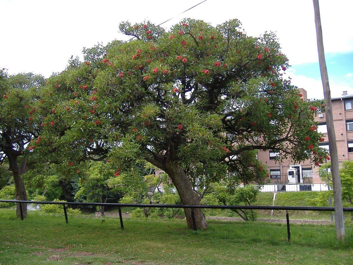 La Erythrina crista galli es un árbol grande