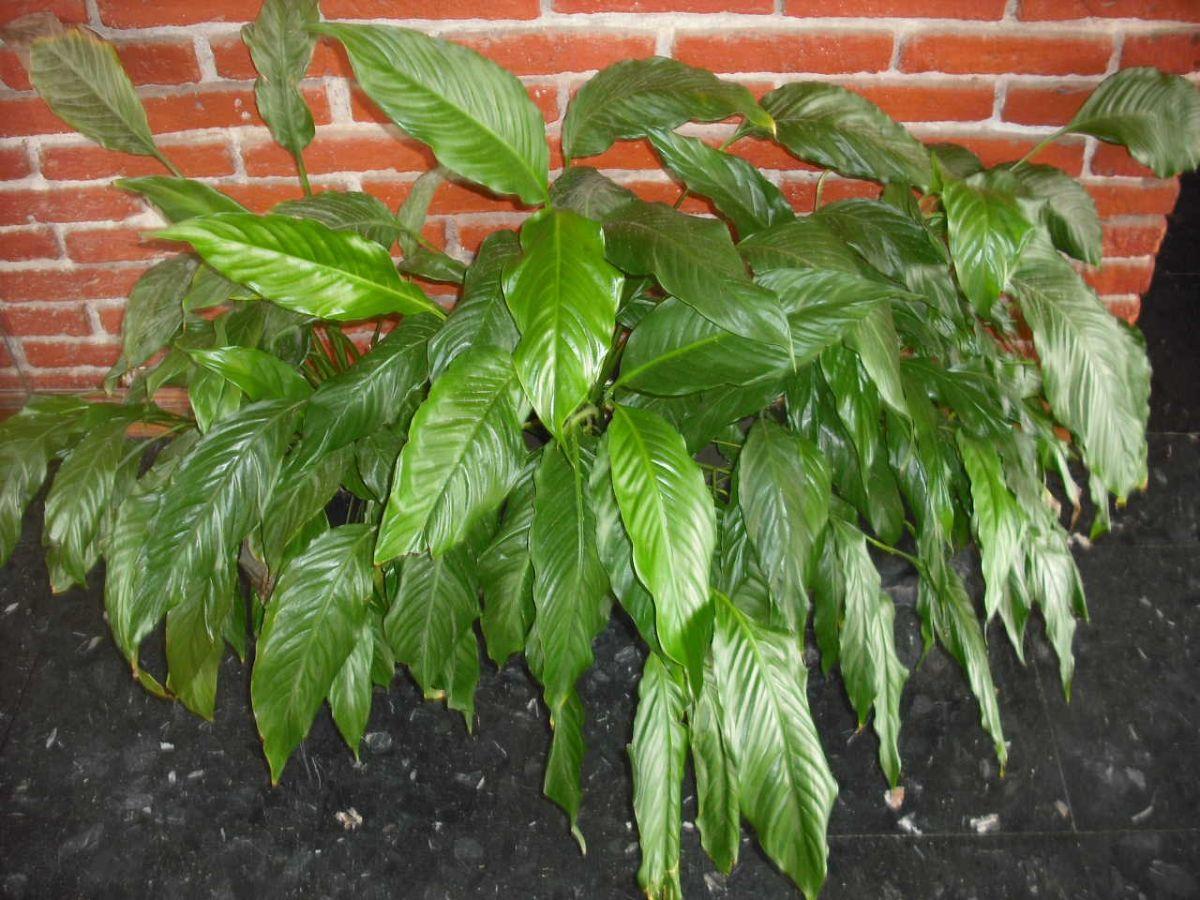Espatifilo: Plantas que necesitan poca agua