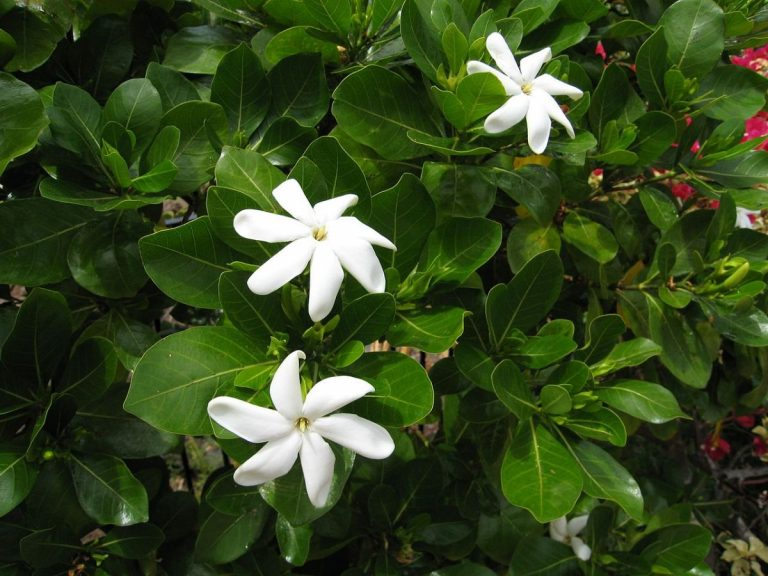 Gardenia tahitensis