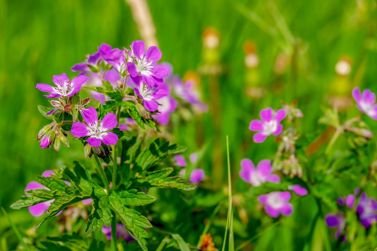plantas con flores de exterior: Geranios