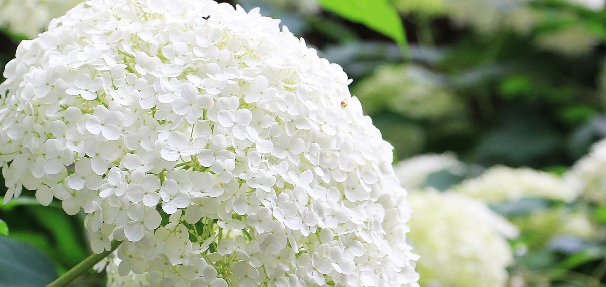 plantas con flores de exterior: Hortensias