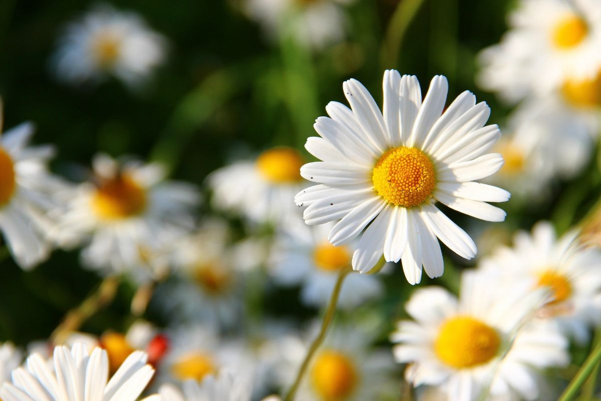 plantas con flores de exterior: Margaritas