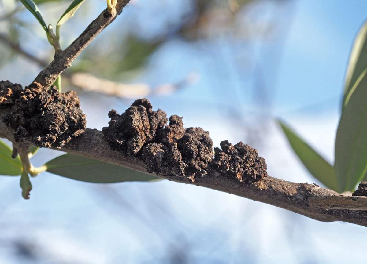 Las pseudomonas pueden causar daños a las plantas