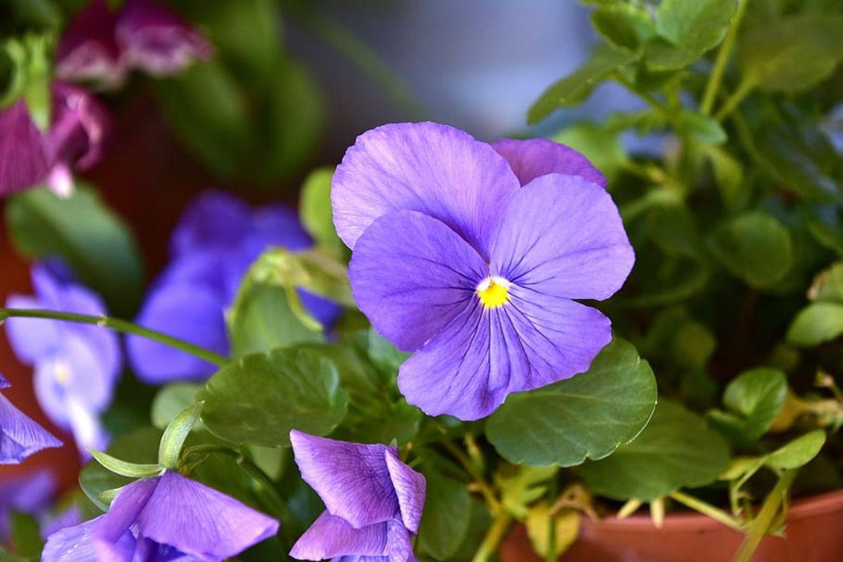 Violeta: Plantas que necesitan poca agua