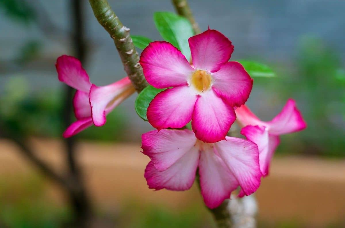 La rosa del desierto es un arbusto tropical