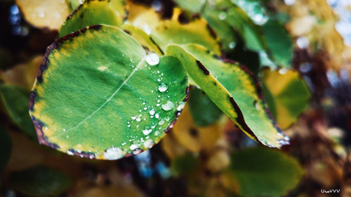 El agua sobre las hojas puede quemarlas si les da el sol