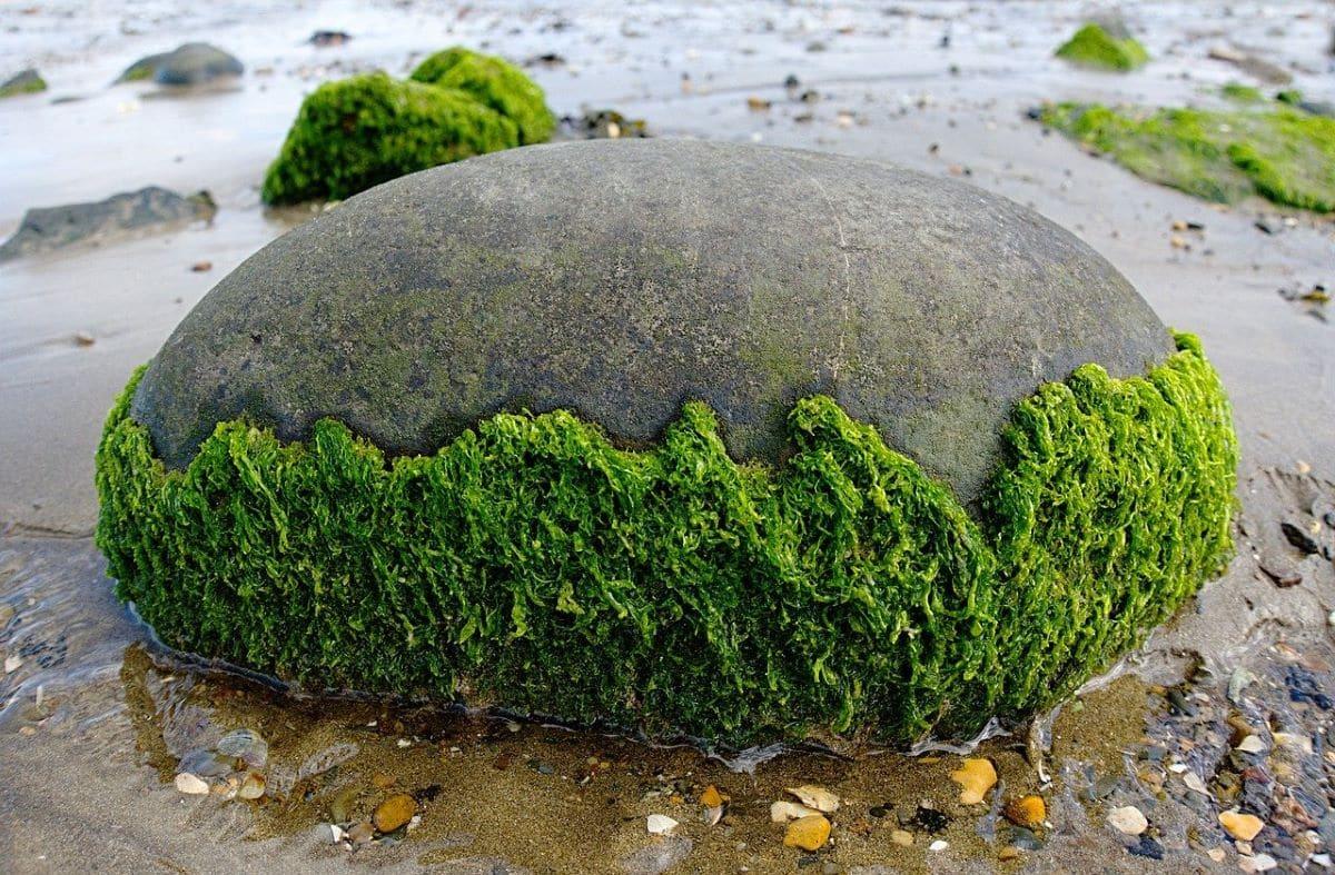 Las algas son organismos acuáticos