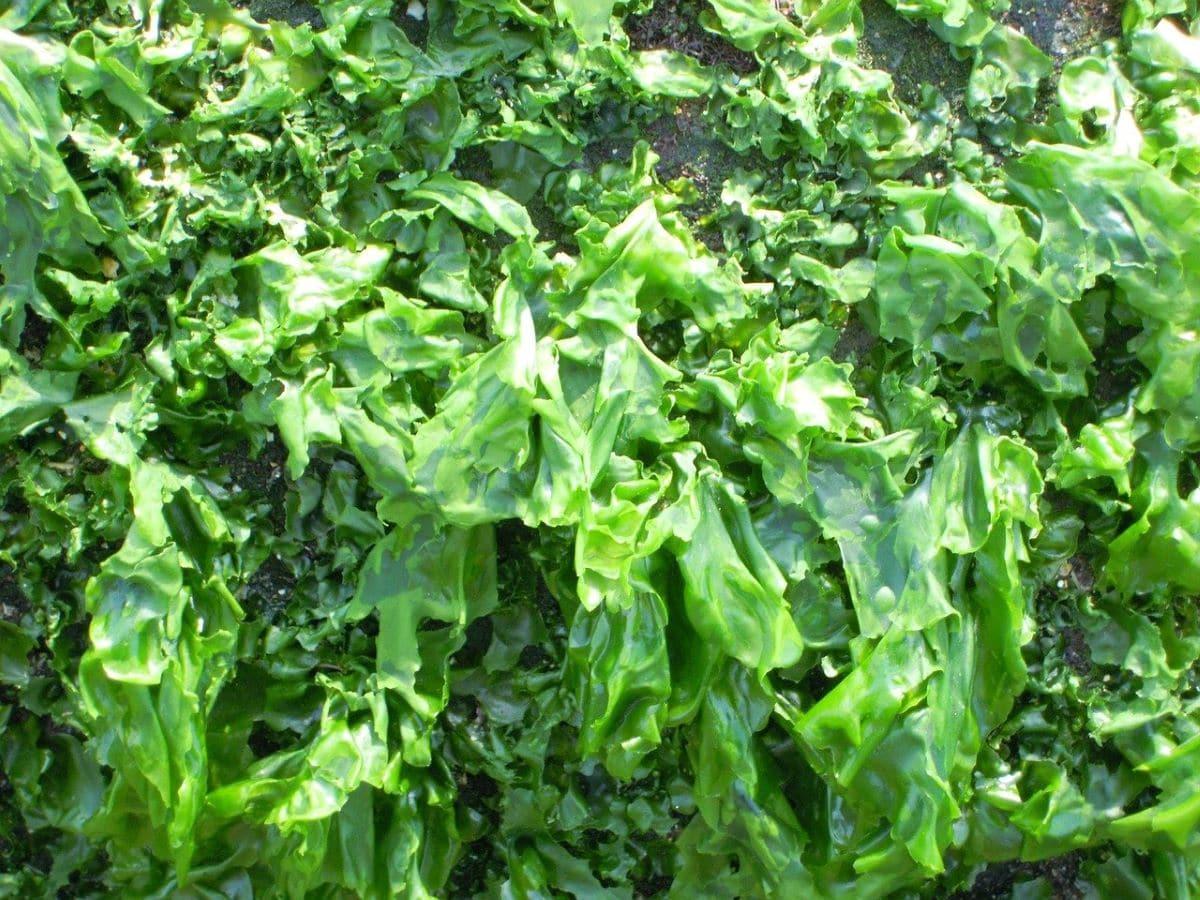 Las algas verdes son similares a las plantas