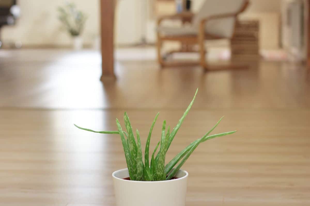 Principales problemas que te encuentras en los cuidados del Aloe vera