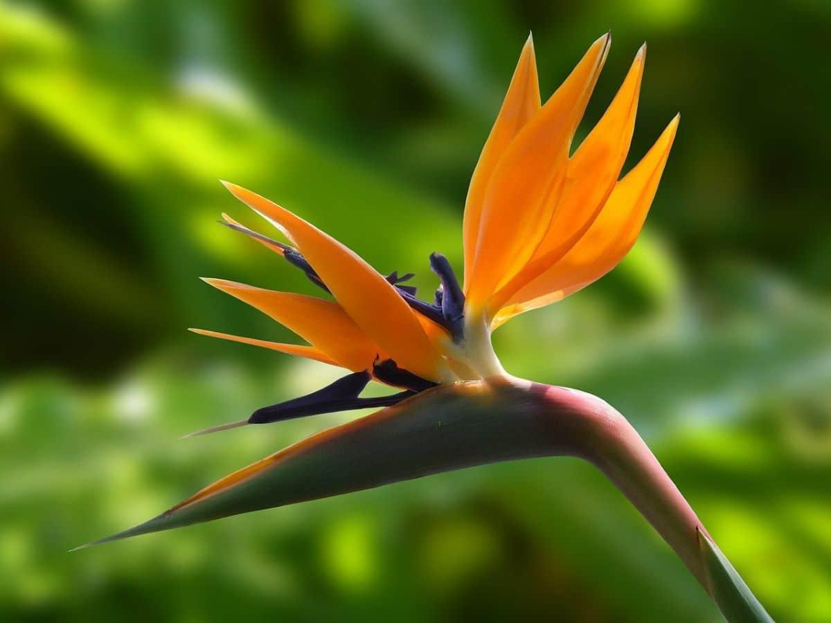 El ave del paraíso es una planta con flores exóticas
