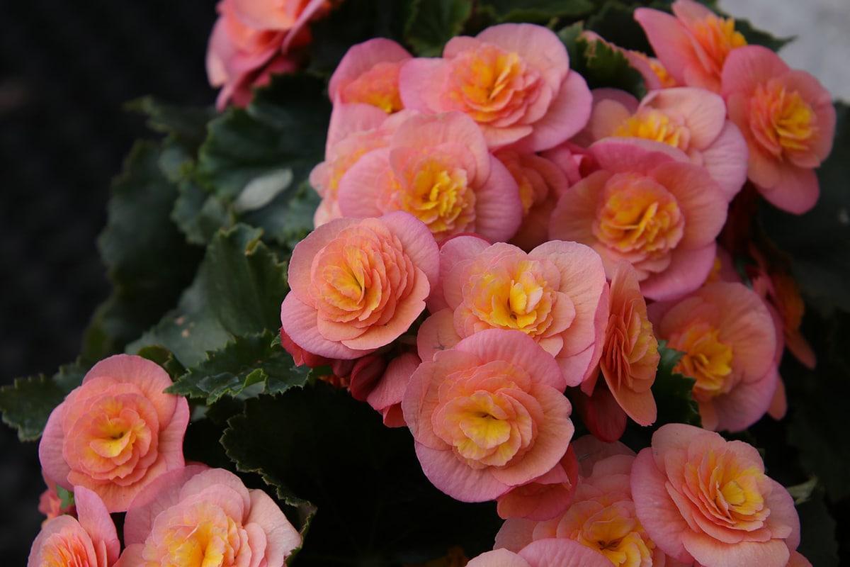 La begonia es una planta con flores grandes