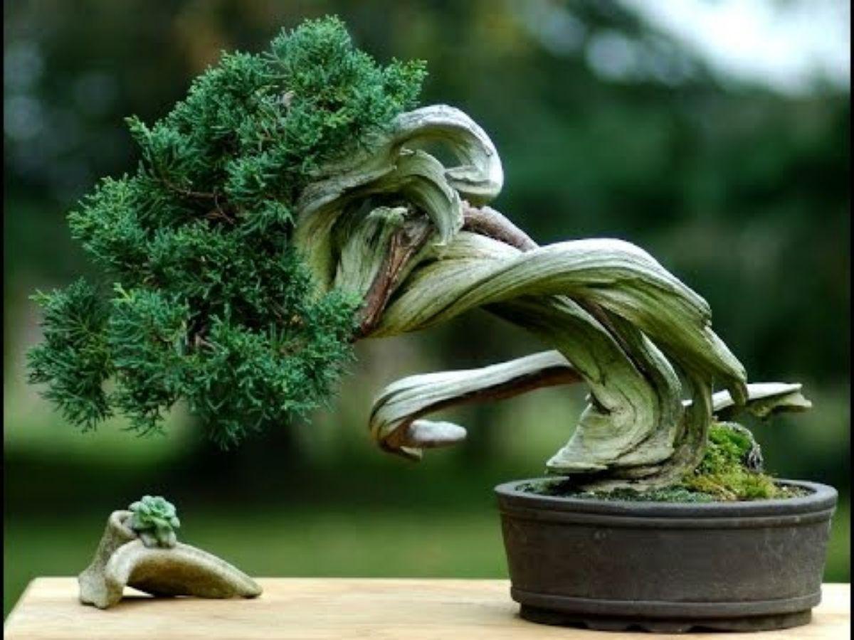 Cómo hacer un bonsái tanuki