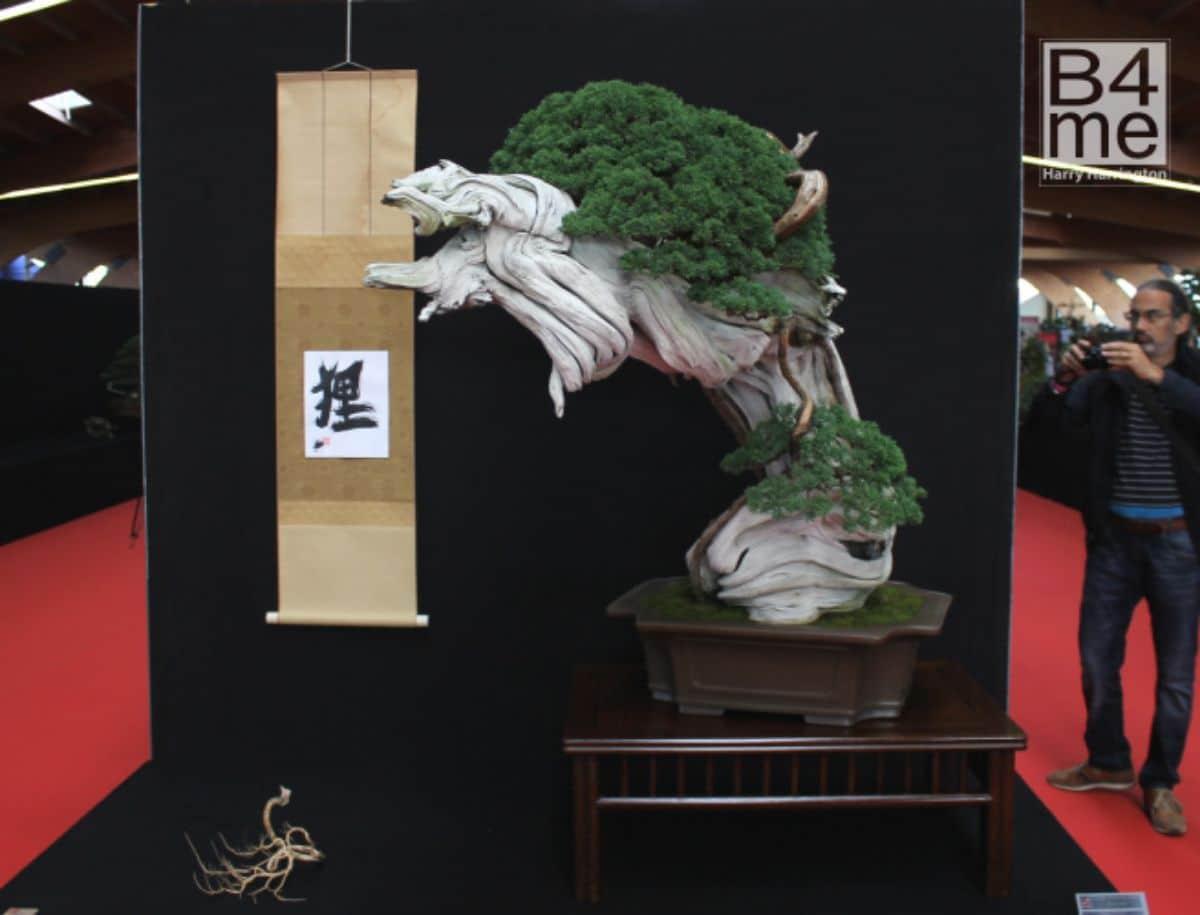 Qué es un bonsái tanuki