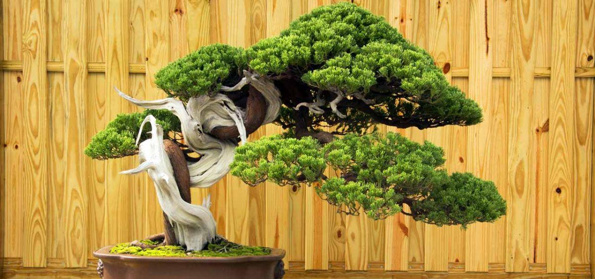 Cuáles son los mejores bonsáis para hacer la técnica tanuki