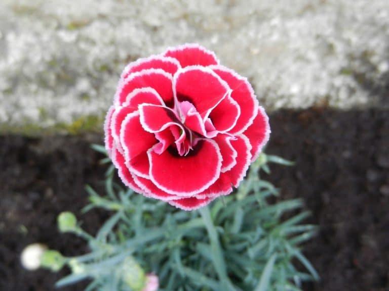 La clavelina es una planta con flores todo el año