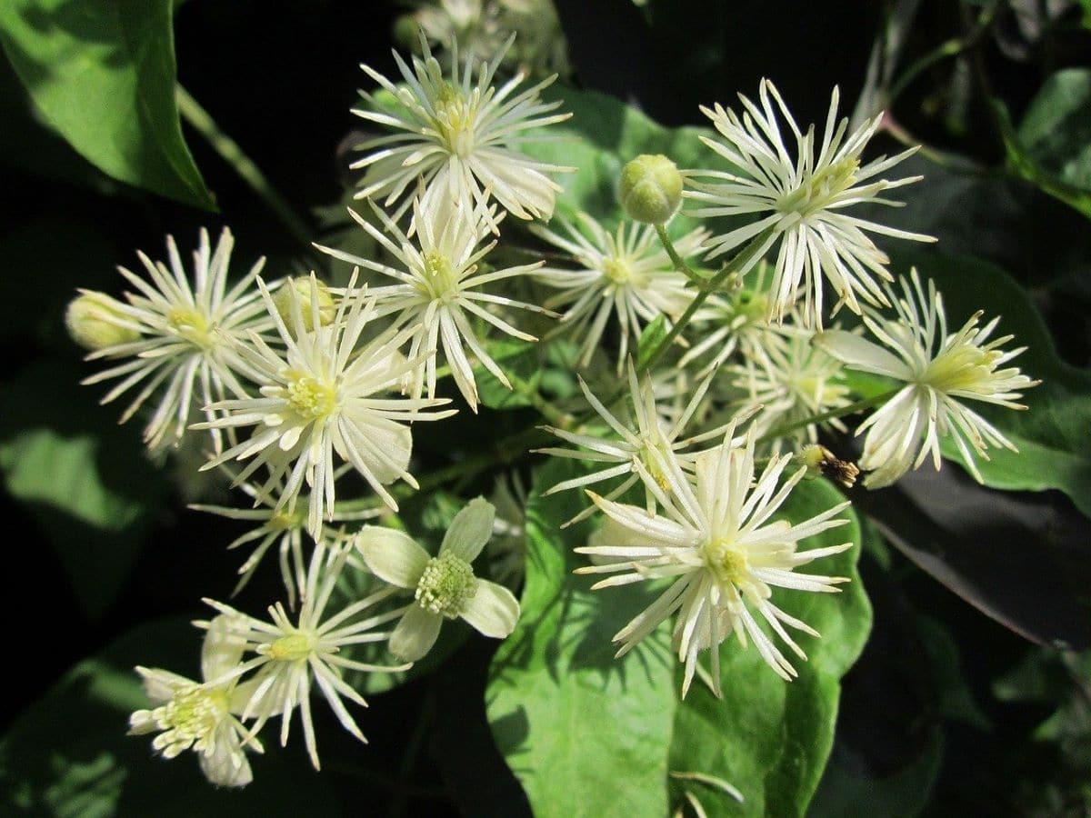 El clematide tiene flores de diversos colores