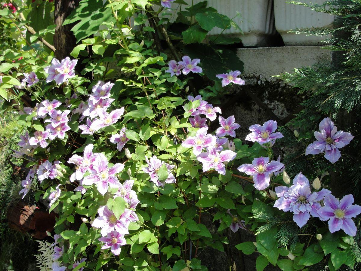 La planta clematide crece al sol
