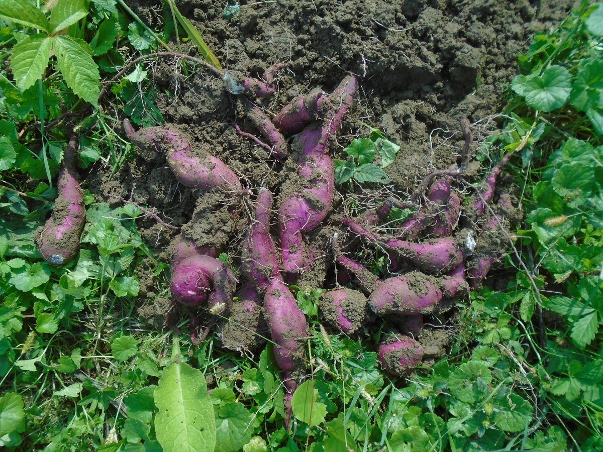 Cómo se recolectan las batatas