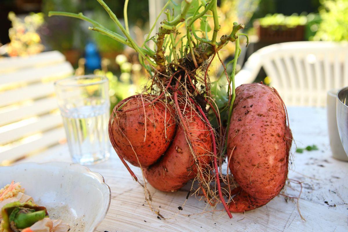 cultivo de la batata