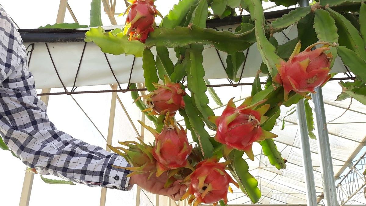 cultivo de la pitaya en casa