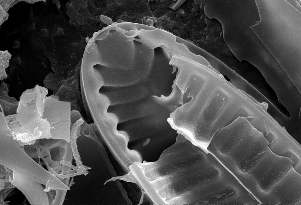 La diatomea es un alga microscópica