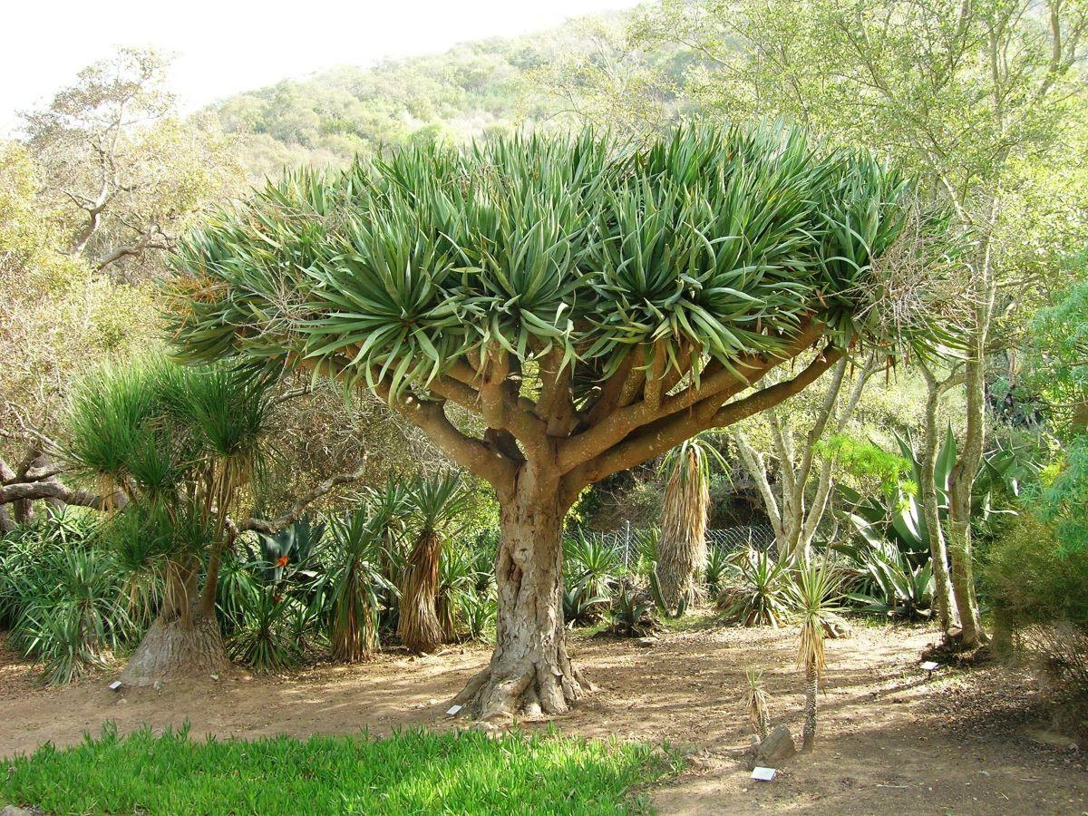 El drago es un árbol de lento crecimiento