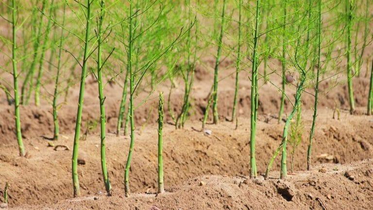 esparragos cultivados