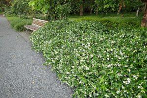 El falso jazmín es un arbusto de flores aromáticas