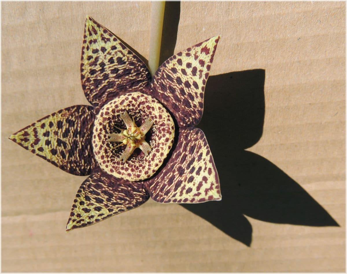 La flor de la stapelia saldrá mejor si se abona