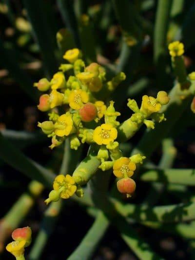 Las flores de la Euphorbia aphylla son amarillas