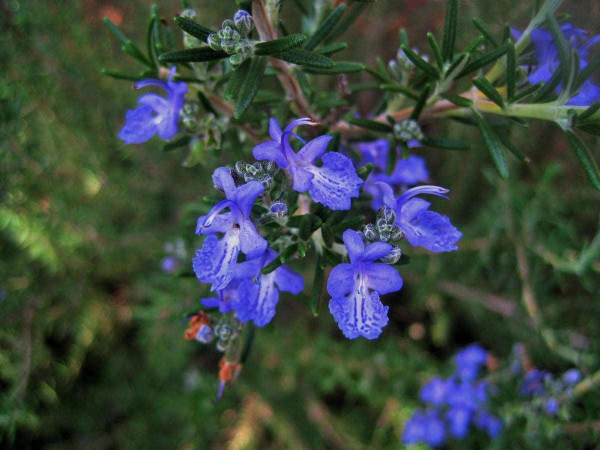 El romero florece en primavera y otoño