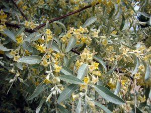 Las flores del olivillo son amarillas