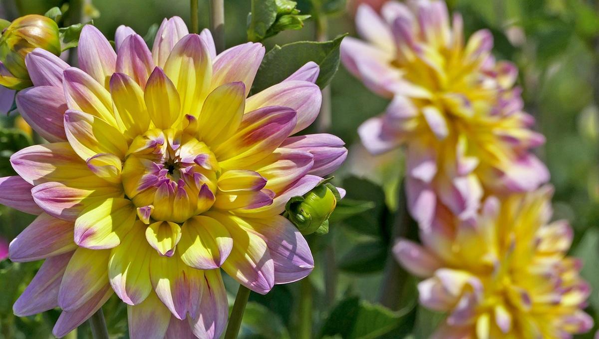 Las plantas con flores grandes son muy decorativas