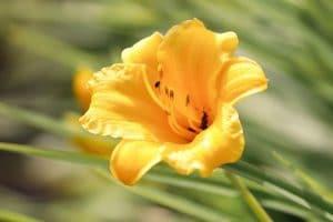 Las freesias son plantas con flores que brotan en primavera