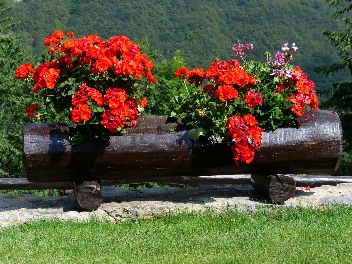 Los geranios son plantas que se riegan con frecuencia