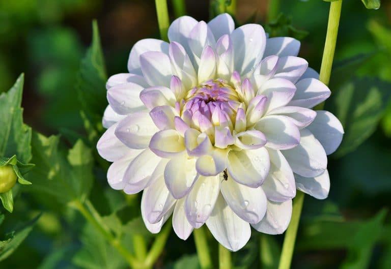 Los cuidados de las plantas con flores grandes dependen de la especie