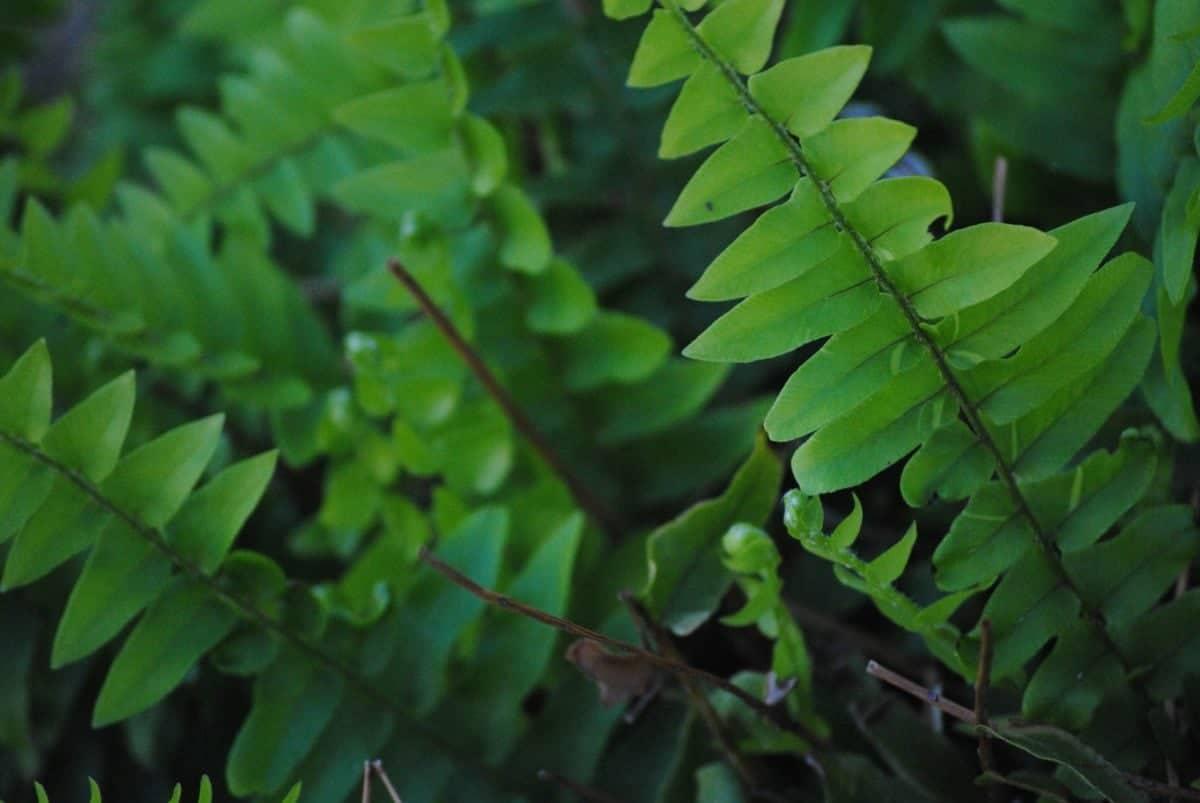 Los helechos son plantas de sombra total