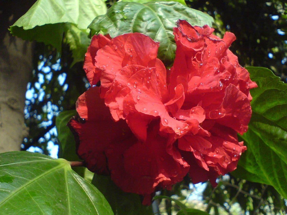 El hibiscus tiene flores exóticas
