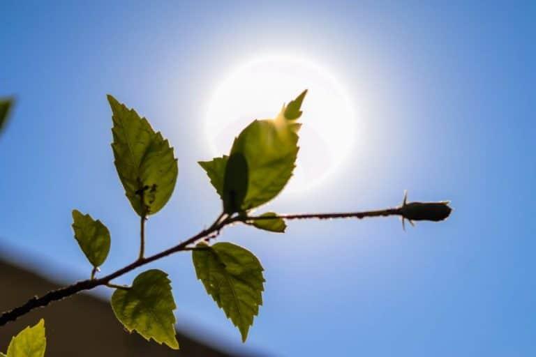 El calor puede perjudicar a las plantas