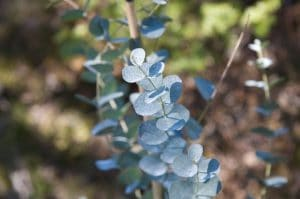 Las hojas del eucalipto de gunn son pequeñas