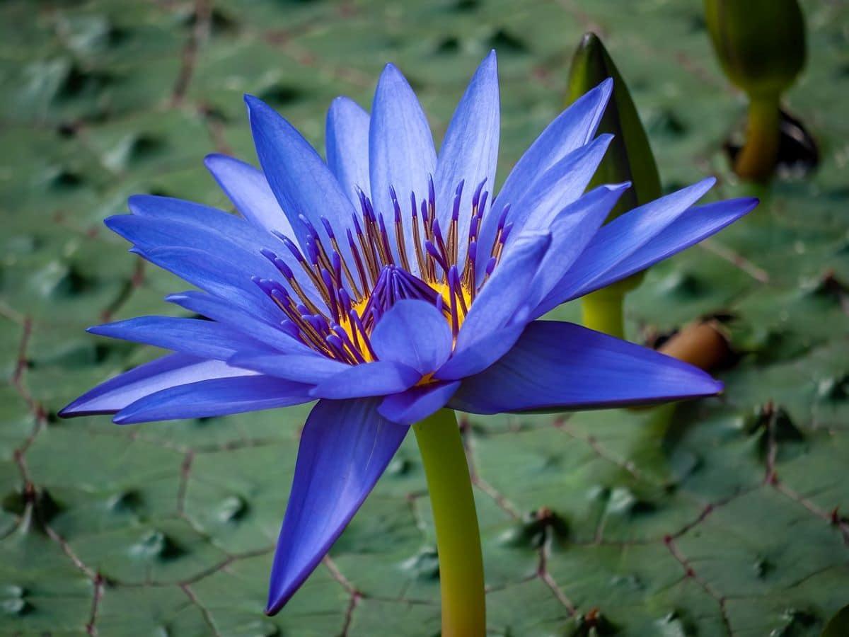 El loto azul egipcio es una planta acuática