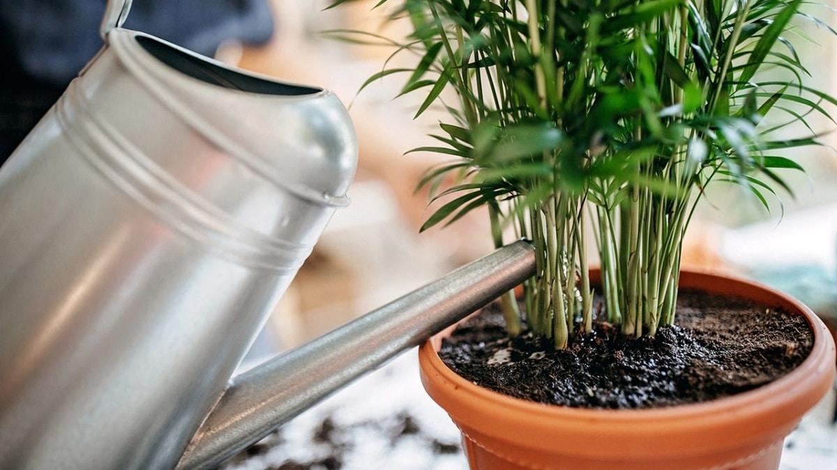 moho blanco en la tierra de las plantas como eliminar
